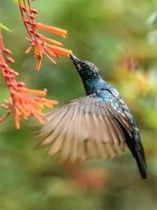 Nectar Eatting Sunbird